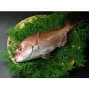 瀬戸内産 天然真鯛 2kg前後 送料無料